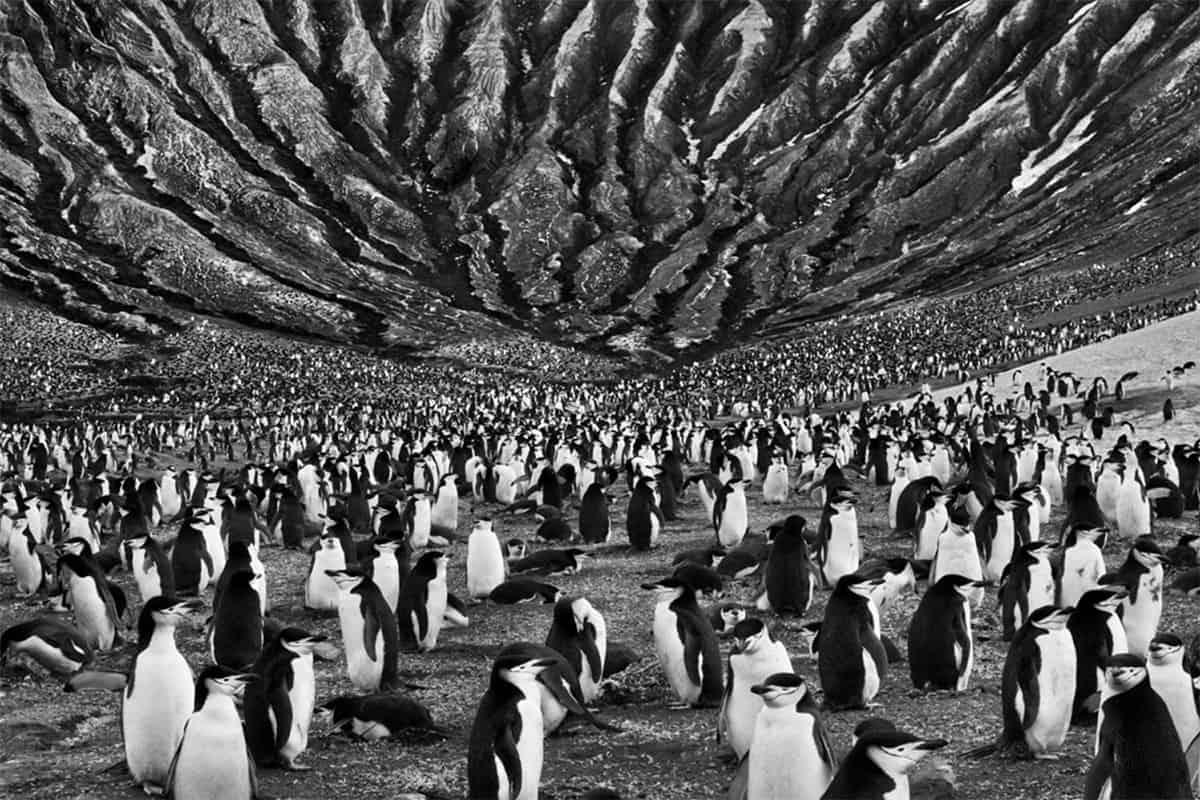 Livro Gênesis Pinguim Salgado