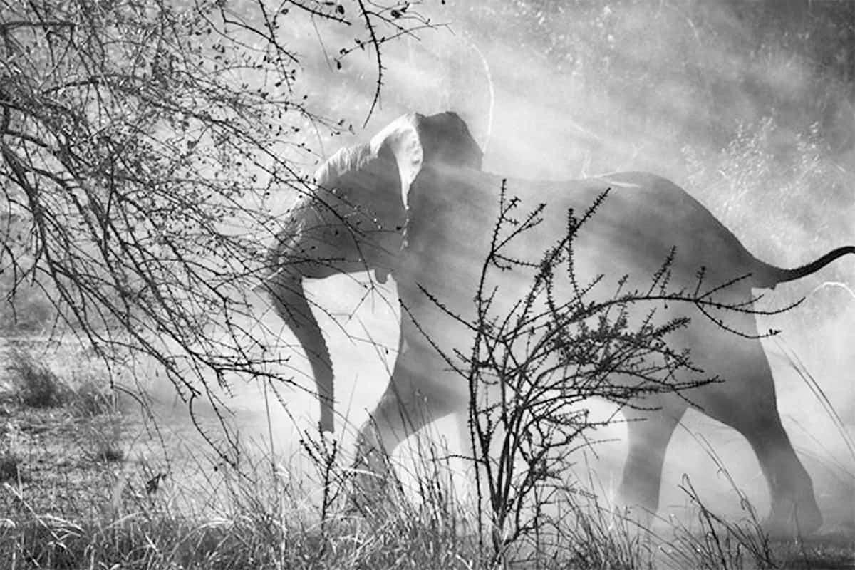 Livro Gênesis Elefante Salgado
